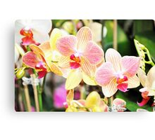 Sweet Pink Blooming  Orchids Canvas Print