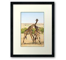 Maasai Giraffes. Males Necking. #2. Maasai Mara, Kenya   Framed Print