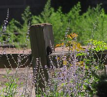 """Fence Post and Russian Sage"" by dfrahm"