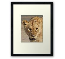 A battle tested lioness! Framed Print