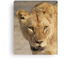 A battle tested lioness! Canvas Print
