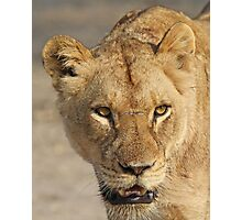 A battle tested lioness! Photographic Print