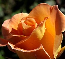 Apricot Beauty Rose 1 by TeAnne