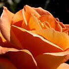 Apricot Beauty Rose 2 by TeAnne