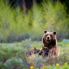 Grizzly Bear #399 Nursing by cavaroc