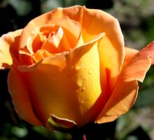 Apricot Beauty Rose 3 by TeAnne