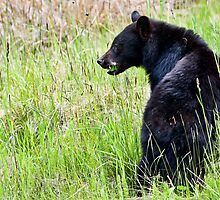 Young Black Bear Foraging by David Friederich