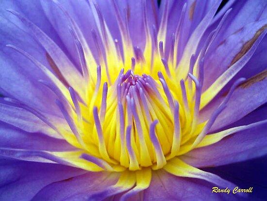 Purple Pond Lily by ldermid75