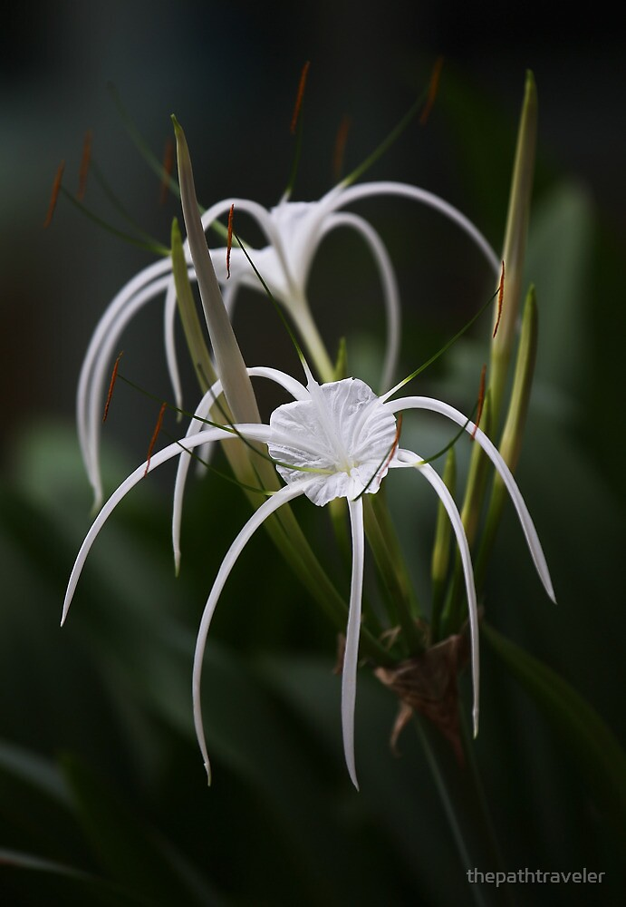 Spider Lilies by thepathtraveler