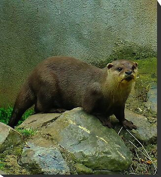 The Eurasian Otter (Lutra Lutra) by Hovis
