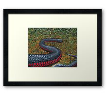 Red Bellied Black Snake Framed Print