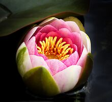 Water Lily by Rewards4life