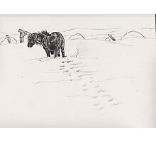 shetland pony in snow Photographic Print