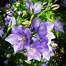 Bellflowers by Rewards4life