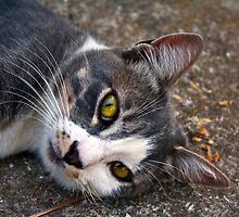 Portrait of a cat lying on the ground looking at the camera by Byzas