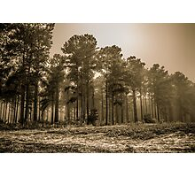 Pines And Sweet Potatoes Photographic Print