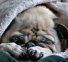 """"""" Molly - Fawn Pug """" by DeucePhotog"""