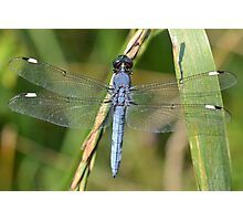 Male Spangled Skimmer Photographic Print