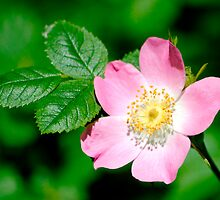Wild Rose (rosa canina) by M.S. Photography & Art