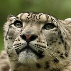 Snow Leopard with Eyes to Melt by Mark Hughes