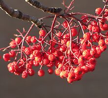 Sun Kissed Berries by Kathi Arnell