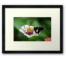 BUTTERFLY ON ZINNIA Framed Print