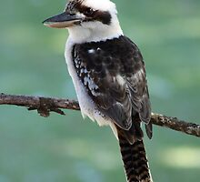 Laughing Kookaburra by robmac