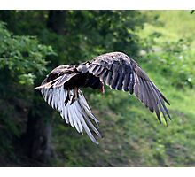 VULTURE IN FLIGHT Photographic Print