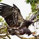 Baby Eagle Flying School Advanced Lesson by David Friederich