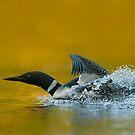 Loon Lift Off by Bill Maynard