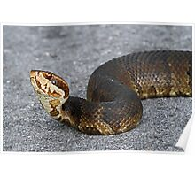 Cottonmouth(Water moccasin) Poster