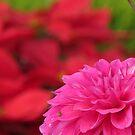 Pink Dahlia with soft red background  by Shiju Sugunan