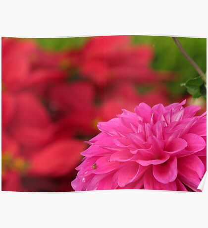 Pink Dahlia with soft red background  Poster