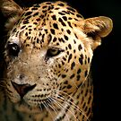 Leopard by Shiju Sugunan
