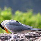 River Tern  by Shiju Sugunan