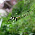 Silver Orb Spider by Shiju Sugunan