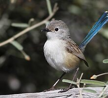 variegated fairywren by birdpics