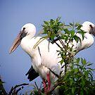 Two Openbill birds by Shiju Sugunan