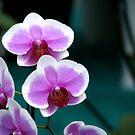 Orchid by Shiju Sugunan