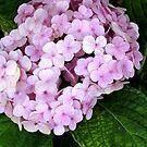 Hydrangia flowers by Shiju Sugunan