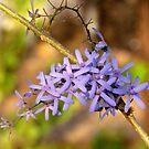 Queen's Wreath Flowers by Shiju Sugunan