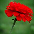 Red flower by Shiju Sugunan