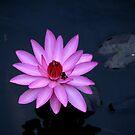 Water Lily by Shiju Sugunan