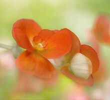 Begonia by Mandy Disher