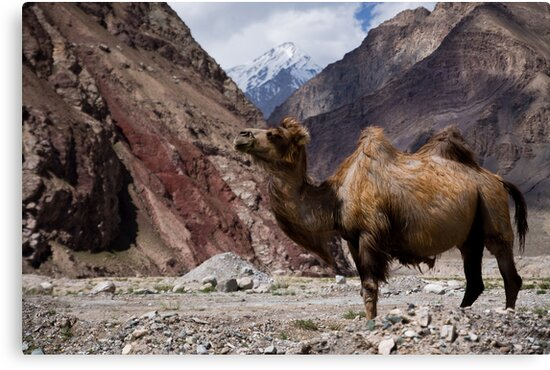 Camel on the Karakoram Highway by Gillian Anderson LAPS, AFIAP