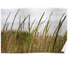 Marram Grass Poster