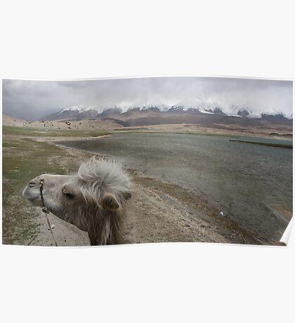 Camel at Lake Kara Kul Poster