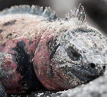 Sleepy marine iguana, Galapagos  by Stephen Colquitt