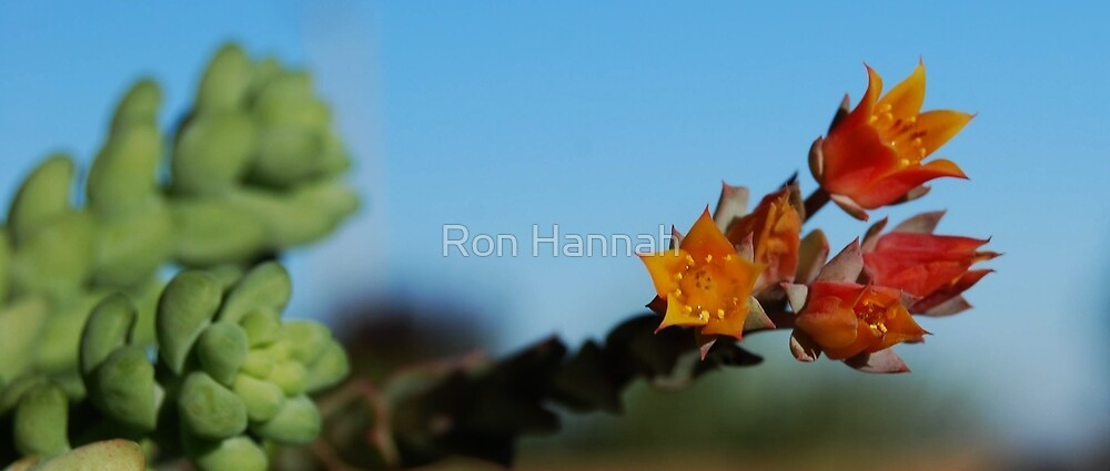 Succulent In Bloom by Ron Hannah