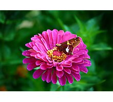 Silver Spotted Skipper Photographic Print
